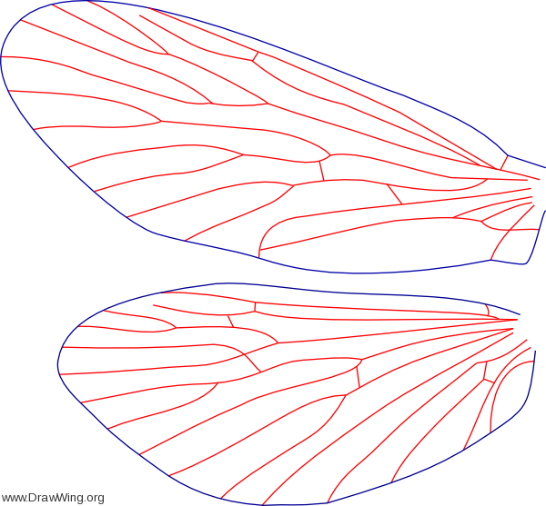 Arctopsyche ladogensis, male, wings