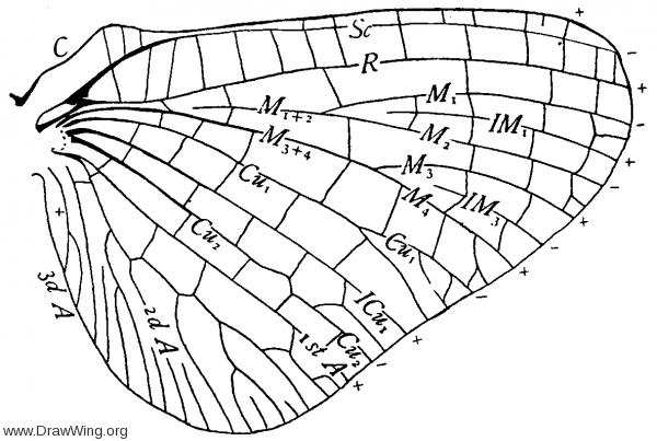 Chirotonetes albomanicatus, hind wing