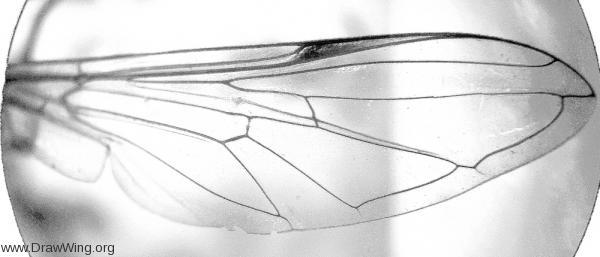 Epistrophe leiophtalma (Diptera: Syrphidae)