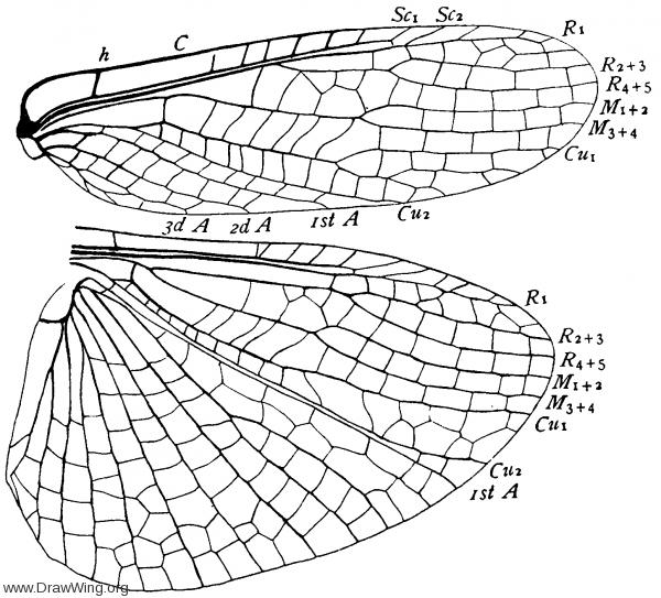 Eusthenia spectabilis, wings