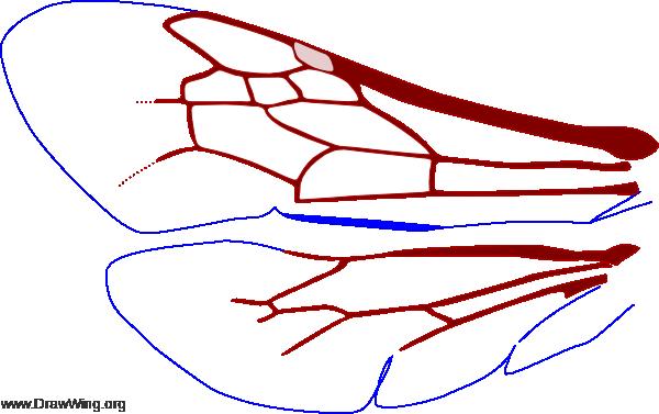 Melissoptila, wings