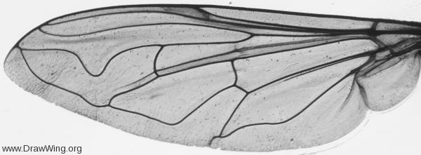 Helophilus pendulus, wing