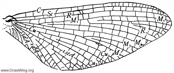 Heptagenia interpunctata, wing