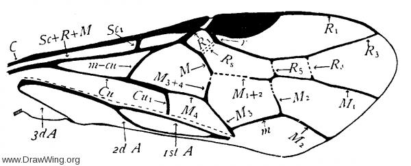 Nematus ribesii, fore wing