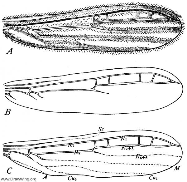 Oligotoma saundersi, fore wing