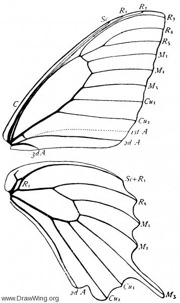 Papilio polyxenes, wings