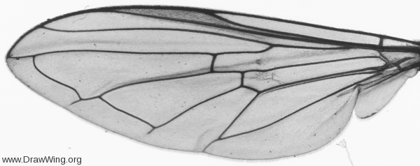 Platycheirus clypeatus, wing