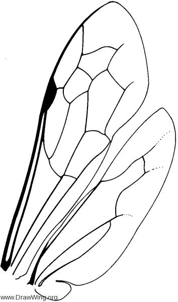 Ceropalinae, wings
