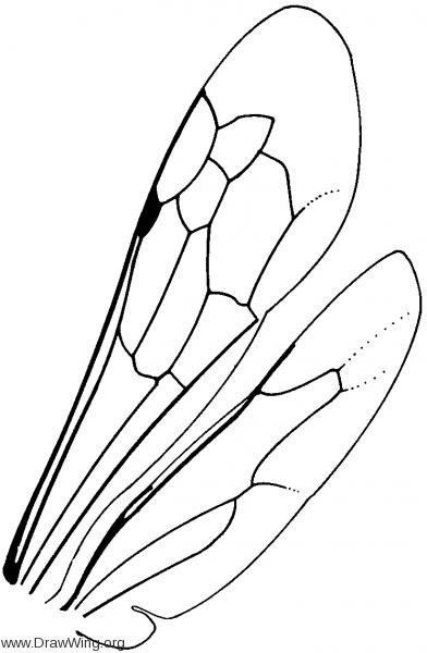 Pepsinae, wings
