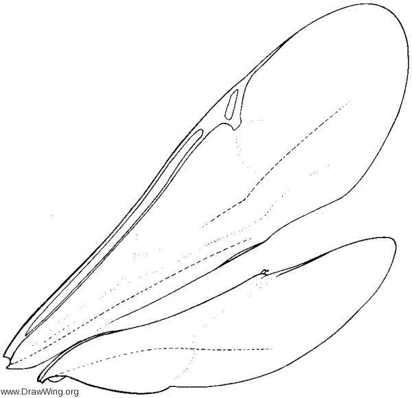 Proctotrupidae, wings