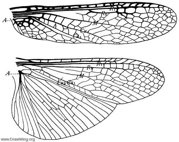 Pteronarcys dorsata, wings