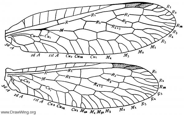 Raphidia adnixa, wings