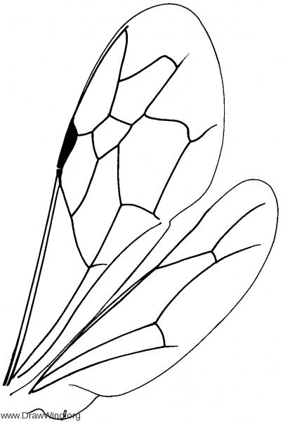 Sapyginae, wings