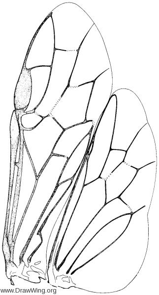 Tenthredinidae, wings