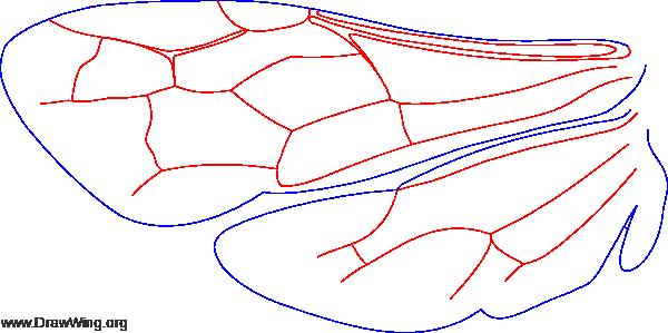 Methocinae, wings