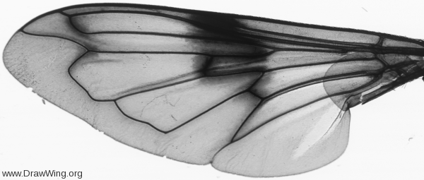 Volucella pellucens, wing