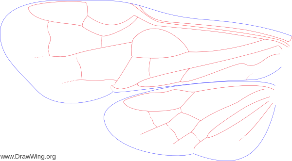 Blasticotomidae, wings