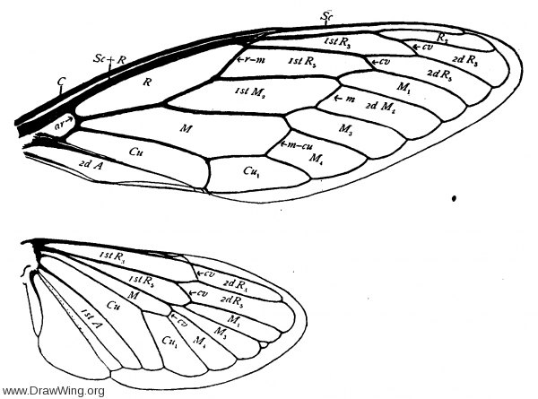 Cicadidae, wings