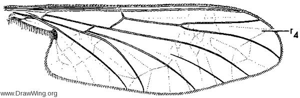 Philorus jacinto, wing