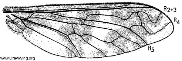 Dipalta serpentina, wing