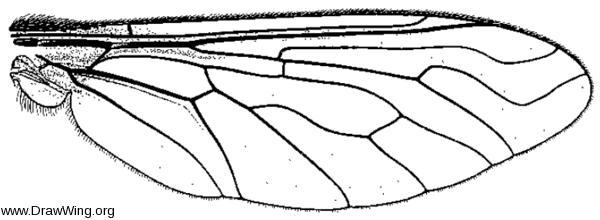 Villa lateralis, wing