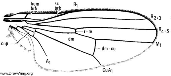 Hemeromyia, wing