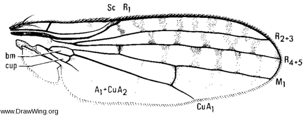 Toropamecia punctata, wing