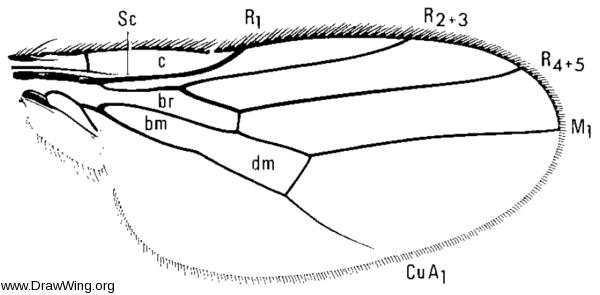 Neoscinella gigas, wing