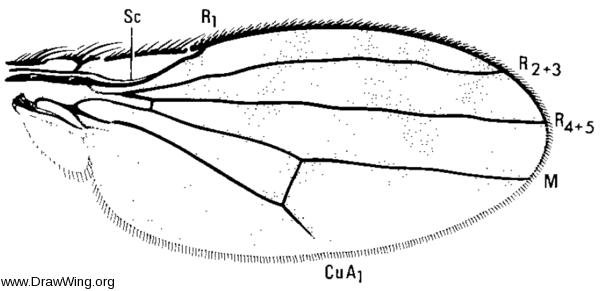 Ilythea spilota, wing
