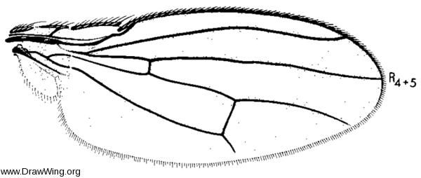 Scatophila cribrata, wing