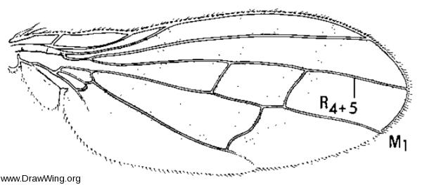 Xenopterella beameri, wing