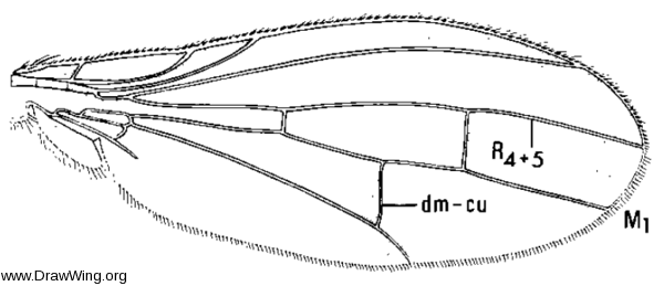 Xeniconeura costalis, wing