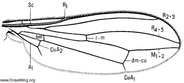 Compsobata mima, wing