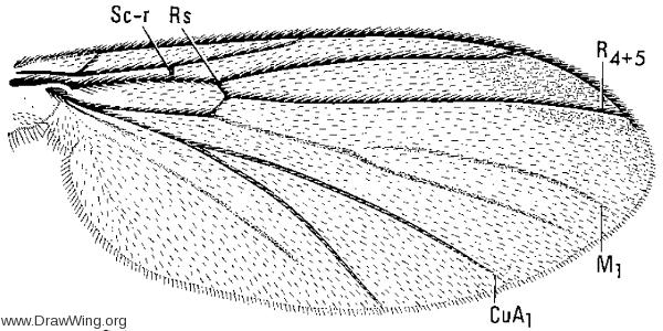 Allocotocera pulchella, wing