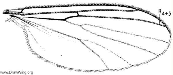 Anatella ciliata, wing