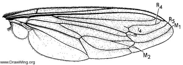 Heteromydas bicolor, wing