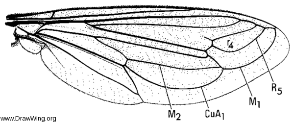 Nemomydas pantherinus, wing