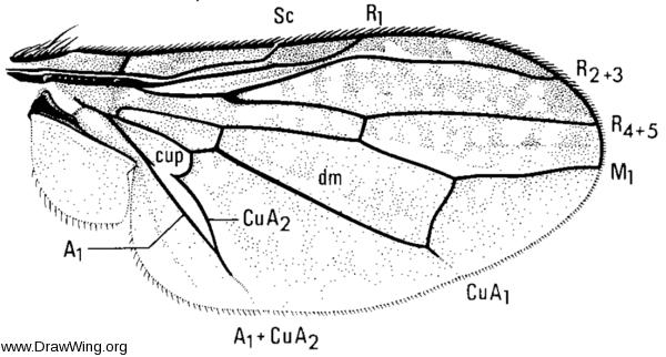 Stictomyia longicornis, wing