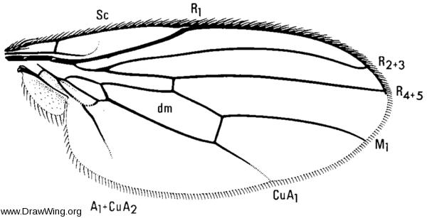 Periscelis annulata, wing