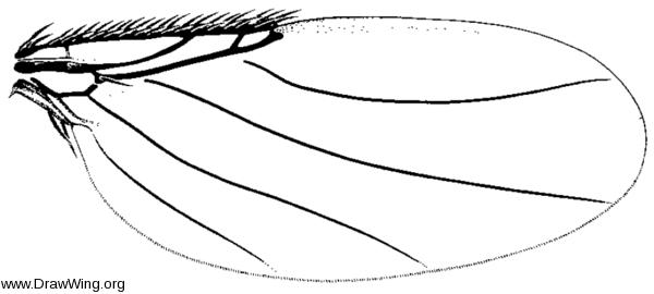 Pericyclocera floricola, wing
