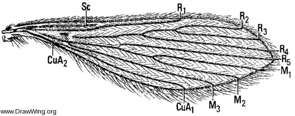 Lutzomyia, wing