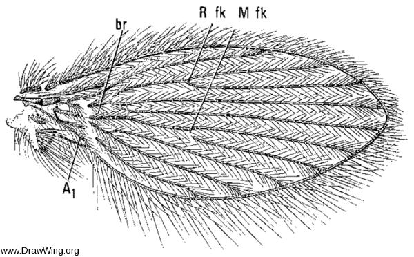 Pericoma marginalis, wing