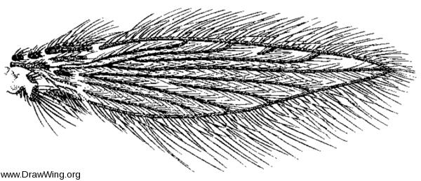 Maruina, wing