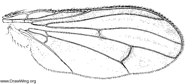 Tetanocera plebeja, wing