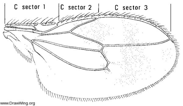 Pterogramma palliceps, wing