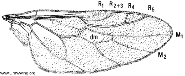 Neopachygaster maculicornis, wing