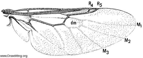 Nemotelus kansensis, wing