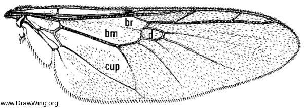 Microchrysa polita, wing