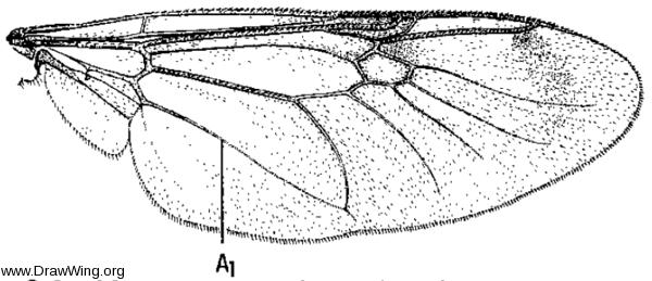 Myxosargus knowltoni, wing