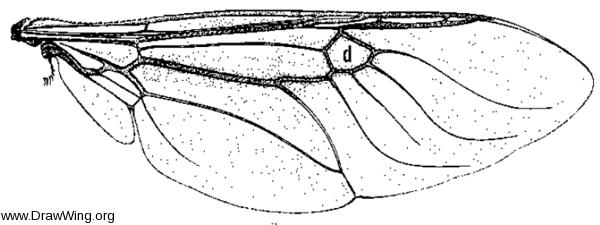 Anoplodonta nigrirostris, wing